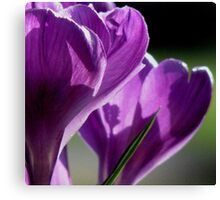 Crocus Morning Canvas Print