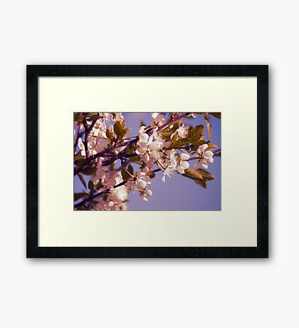 Blossoming Cherry Framed Print
