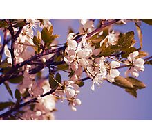 Blossoming Cherry Photographic Print
