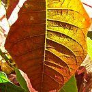 Poinsettia Leaf by Shulie1