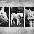 Lamb Triptych  by Martina Fagan