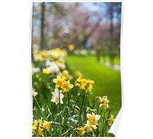 Spring Daffodils in Keukenhof Garden Poster