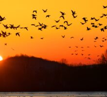 Snow Geese Flying at Sunrise Sticker