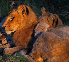 Lion love by Explorations Africa Dan MacKenzie