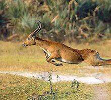 Leaping Lechwe by Explorations Africa Dan MacKenzie