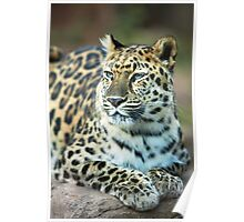Leopard Resting in the Sun Poster
