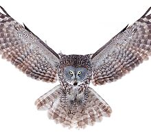 Power - Great Grey Owl by Jim Cumming
