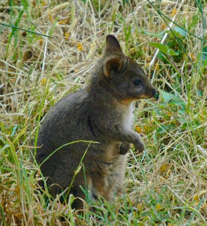CRITTERS ~ Pademelon 'Adolescent' by tasmanianartist Sticker