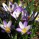 Crocus enjoy the Spring Sun by ienemien