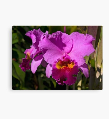 Majestic Pink Cattleya Orchid Bloom Canvas Print