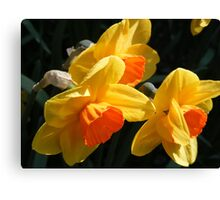 Bi- Coloured Daffodils Canvas Print