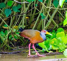 Grey-Necked Wood Rail by Mary Carol Story