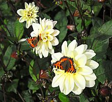 Three Dahlias, Two Butterflies. by Billlee