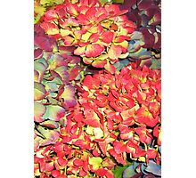 Autumn Hydrangeas, in russet colours Photographic Print