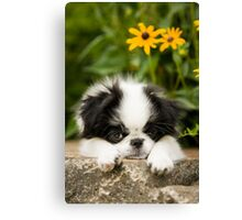 Adorable Japanese Chin Puppy Canvas Print