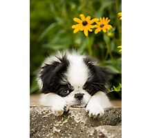 Adorable Japanese Chin Puppy Photographic Print