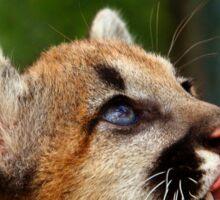 Baby Cougar Sticker