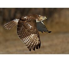 Red-tailed Hawk in Flight Photographic Print