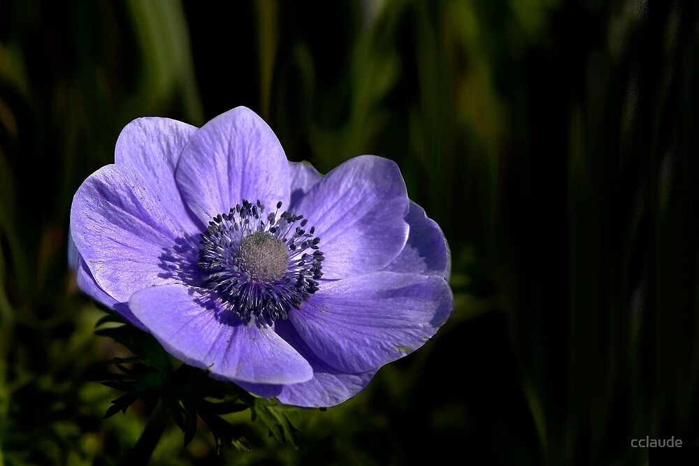Blue anemone by cclaude