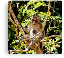 Long-tailed Macaque in Borneo Rainforest Canvas Print