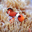 Clown Fish III by Daniela Pintimalli