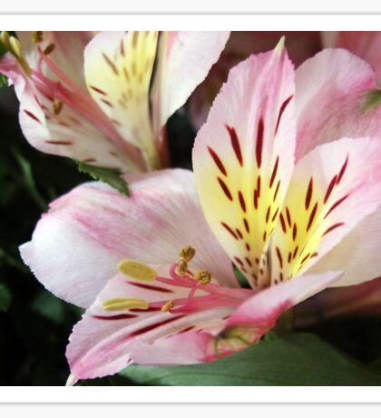 Alstromeria Blossom Sticker