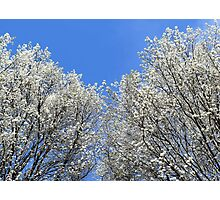 Spring Sky - treetops and sky Photographic Print