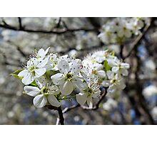 Spring Blossom - white flower Photographic Print