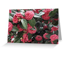 Camellia Blossoms Greeting Card
