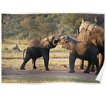 Playful Elephants Poster