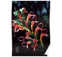 Orange grevillea Adenanthos barbiger Nannup-Pemberton 19820828 0015 Poster