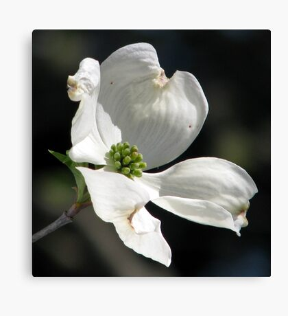 Dogwood Blossoms A Gift of Spring Canvas Print