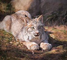 Canadian Lynx - Erie Zoo by Kathy Weaver