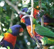 Rainbow Lorikeets, Rockhampton, Queensland.  by Margaret Stanton
