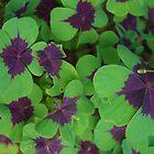 Oxalis Leaves by lezvee