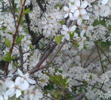 Apple tree flowers Sticker