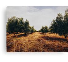 Olive Tree Plantation Canvas Print