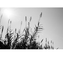 Reed In The Sun Photographic Print