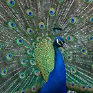 Blue Peacock by Steve  Liptrot
