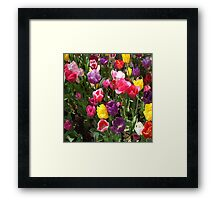 Tulips in assorted colours with green leaves. Framed Print