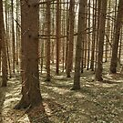 Pines and Sun, Stinchfield Woods by jrier