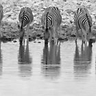 Zebra - Reflection and Iconic Black and White Nature by LivingWild