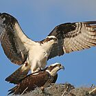 Making Baby Ospreys! by jozi1