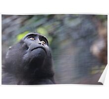 Sulawesi Crested Macaque  Poster