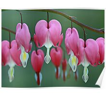 Dicentra Poster