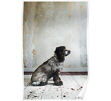 Profile of Cocker Spaniel Sitting in Shabby Apartment Poster