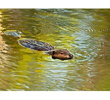 Busy Beaver Photographic Print