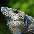 Mexican Spinytailed Iguana by Vickie Emms
