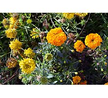 Beautiful yellow flowers in the garden. Photographic Print