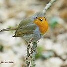 European Robin or 'Redbreast '  (see large) by John44